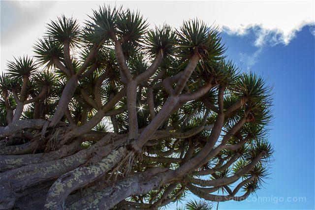 Canarias La Palma Mirador Drago