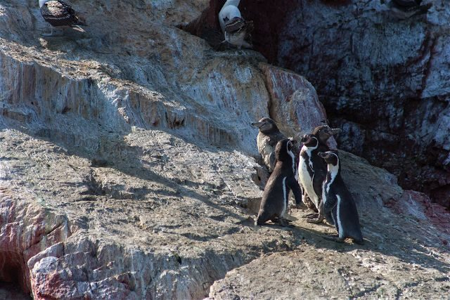 Peru Islas Ballesta Pinguinos Humbolt