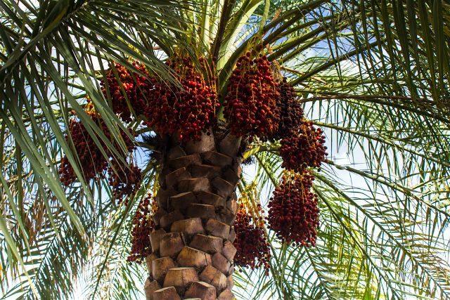 oman bilad sayt oasis palmera datiles