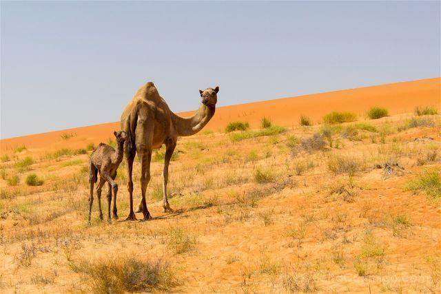 oman desierto camellos