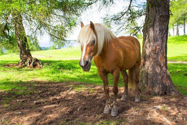 italia sudtirol alto adige san genesio jenesien altiplano salto caballo haflinger