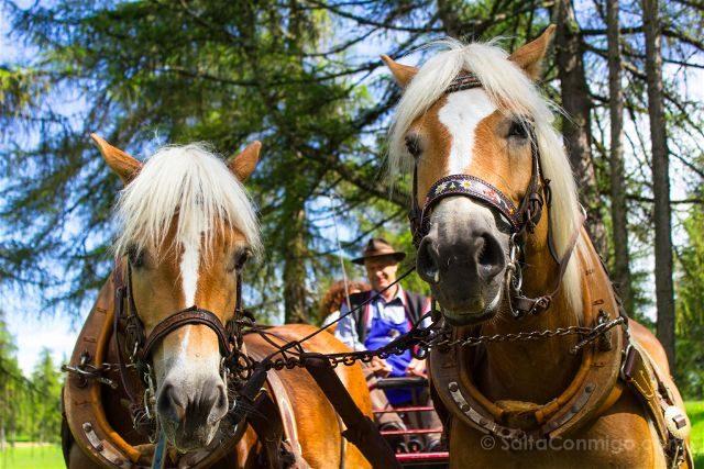italia sudtirol alto adige san genesio jenesien altiplano salto caballos haflinger