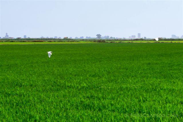 valencia albufera arrozales verde garza