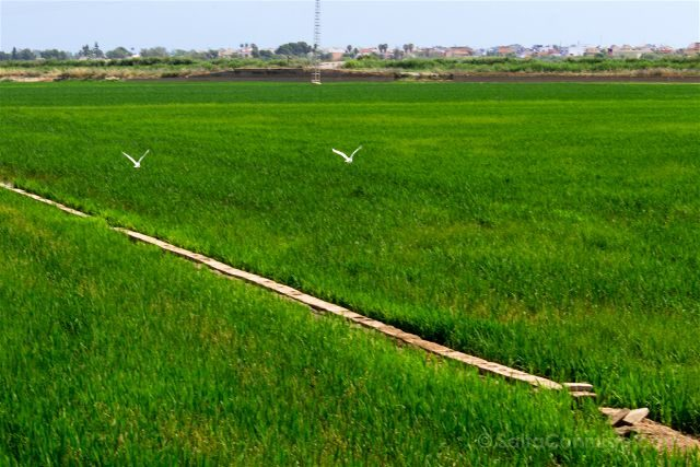 valencia albufera arrozales verde garzas