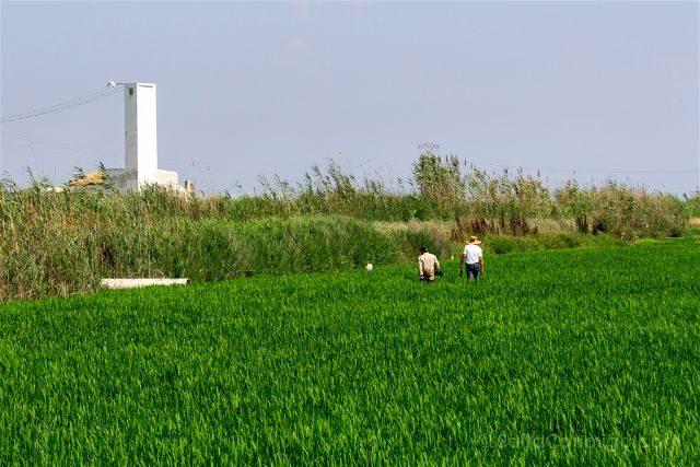 valencia albufera arrozales verde trabajadores