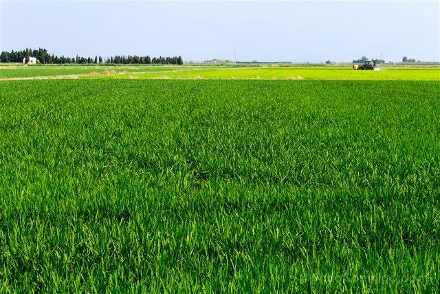valencia albufera arrozales verde tractor