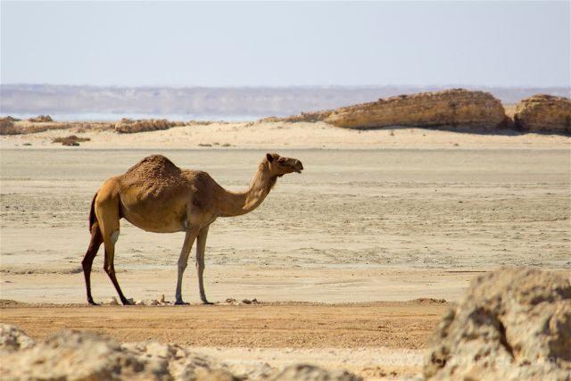 Oman Desierto Ghalat Camello