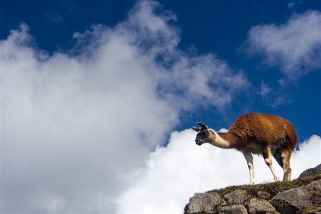 Peru Machu Picchu Llama