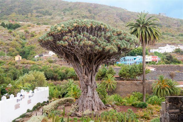 Islas Canarias Tenerife Icod de los Vinos Drago Milenario
