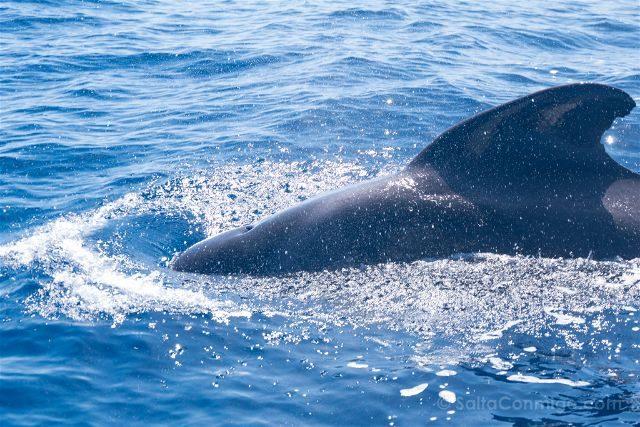 Islas Canarias Tenerife Avistamiento Cetaceos Ballena Piloto Espiraculo