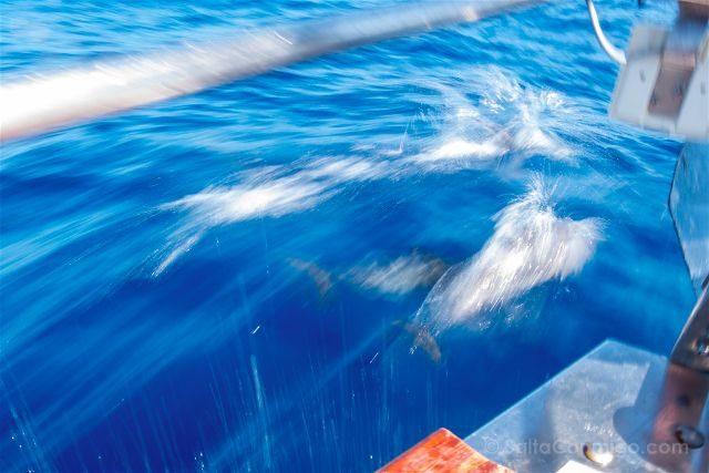 Islas Canarias Tenerife Avistamiento Cetaceos Delfines Mulares Proa