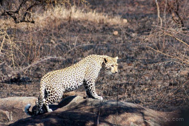Tanzania Parque Nacional Serengeti Leopardo