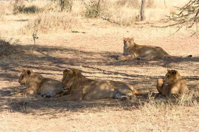 Tanzania Parque Nacional Serengeti Manada Leones