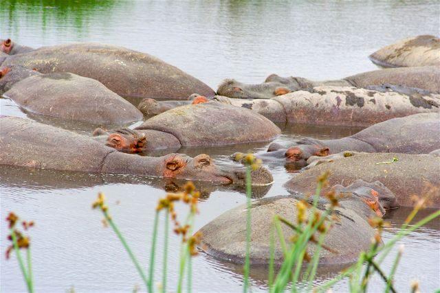 Tanzania Zona Conservacion Ngorongoro Hipopotamos