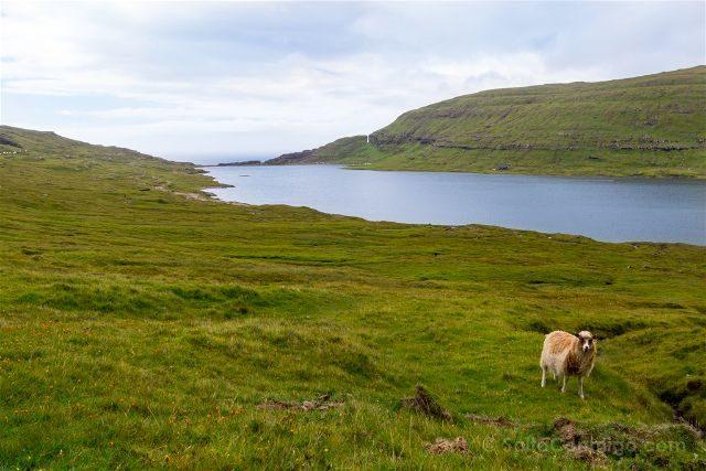 Islas Feroe Sorvagsvatn Sendero Oveja