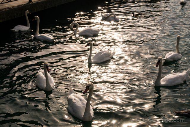 Suiza Ginebra Cisnes