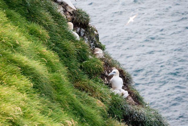 Islas Feroe Mykines Aves