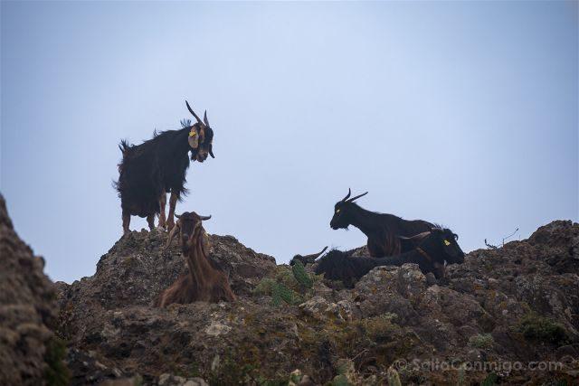 Canarias Tenerife Parque Anaga Taborno Fauna Cabras