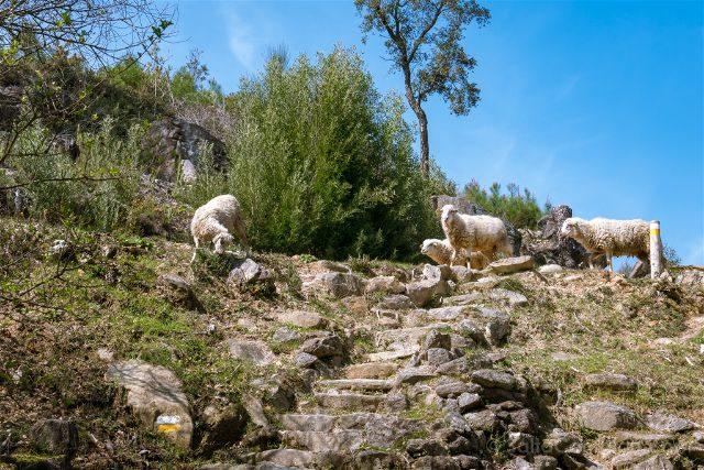 Galicia Rias Baixas Ruta Muíños do Folón e do Picón Ovejas