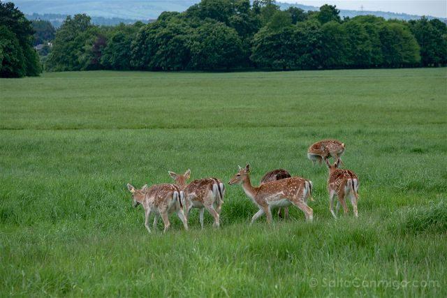 Irlanda Dublin Phoenix Park Ciervos