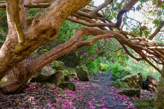Irlanda Dublin Howth Jardin Rododendros
