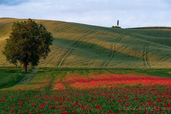 Ruta por la Toscana Paisaje Amapolas