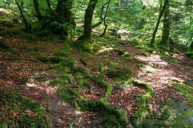Bosque de Huelgoat Raices