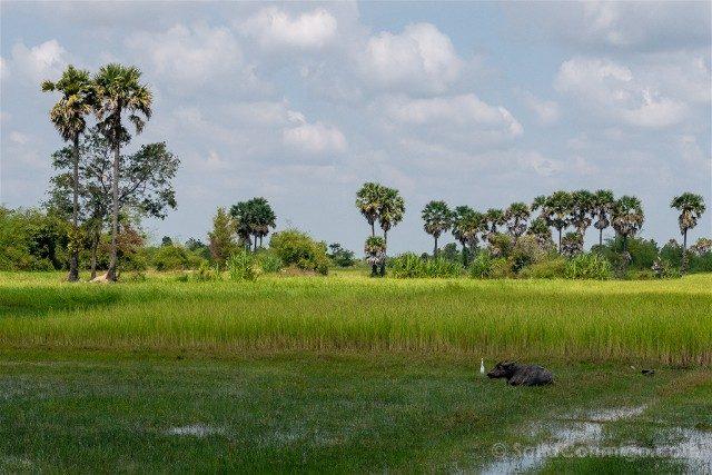 Viajar a Camboya Arrozales Buey