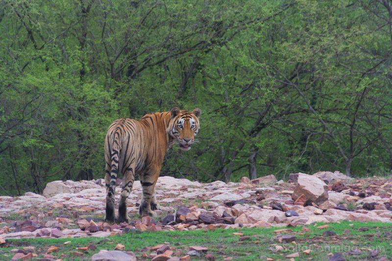 Momentos Viaje Tigre Ranthmabore India