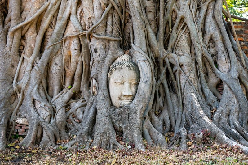 Ayutthaya Buda Arbol Wat Mahathat